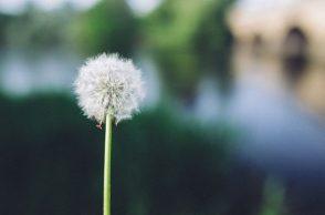 cancer, dandelion, weed
