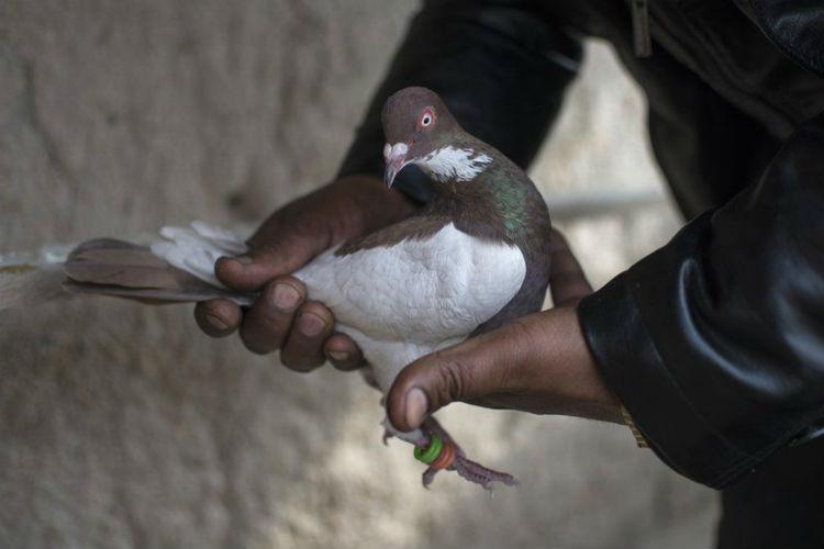 pakistani-pigeon