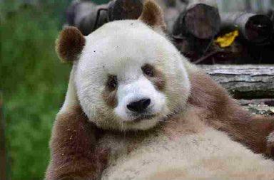Qizai, Brown Panda