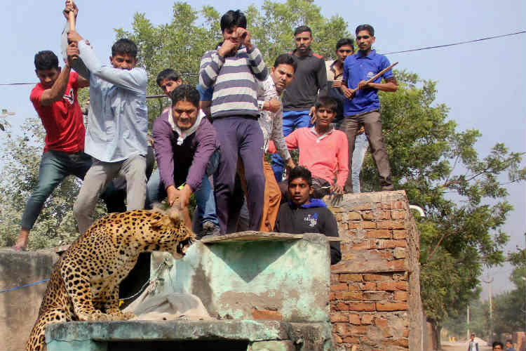 Villagers beat a leopard as it advanced towards them in Sohna area of Gurgaon district on Thursday. (Photo: PTI)