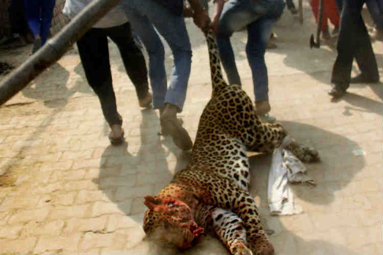 The body of the leopard being carried for post-mortem.