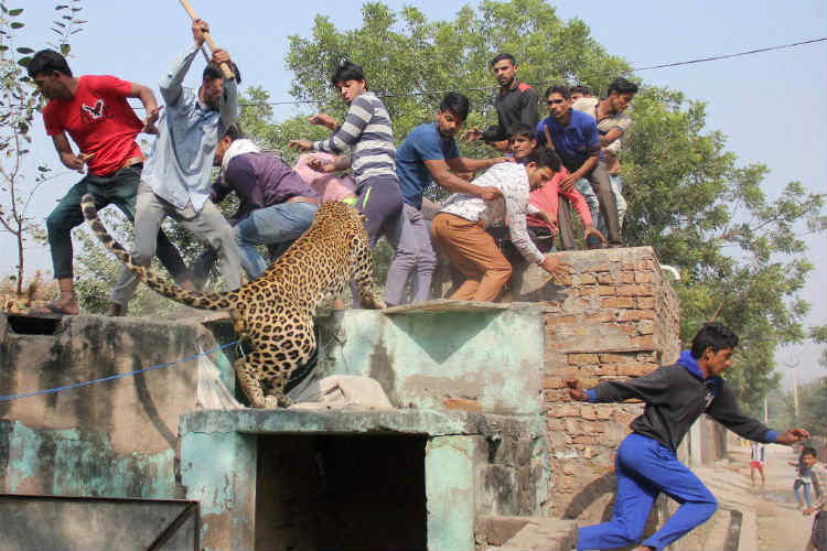 Villagers jump from the roof of house to save themselves from the leopard.