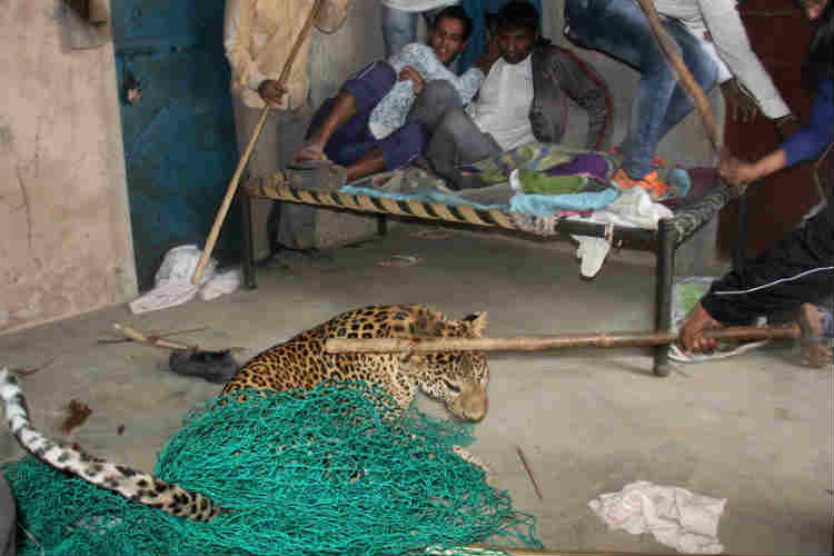 In photos: How a 1,500 strong mob killed a ferocious leopard