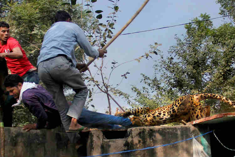 The villagers attacked the leopard with sticks to defend themselves.