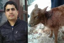 With little facilities, Kashmiri vet performs a rare surgery to salvage 6-legged calf