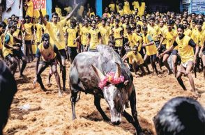 jallikattu protest escalates
