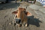 Not Happy With Gaumutra? Now You Can Also Buy Cow Dung Face Packs On Amazon