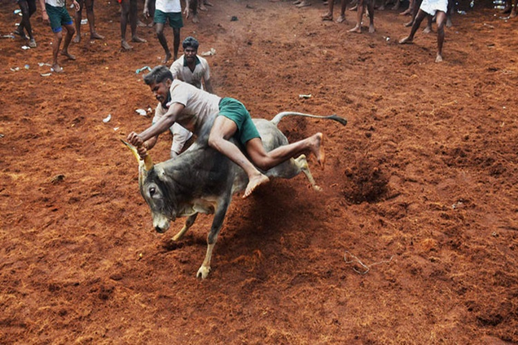Tamil Nadu: Jallikattu held in Madurai, 37 bull tamers injured