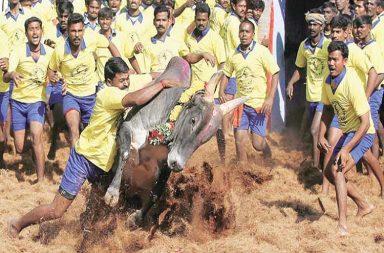 Jallikattu organised in Tamil Nadu