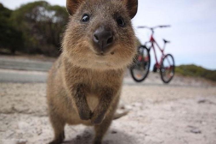 Australian Quokka/Quora