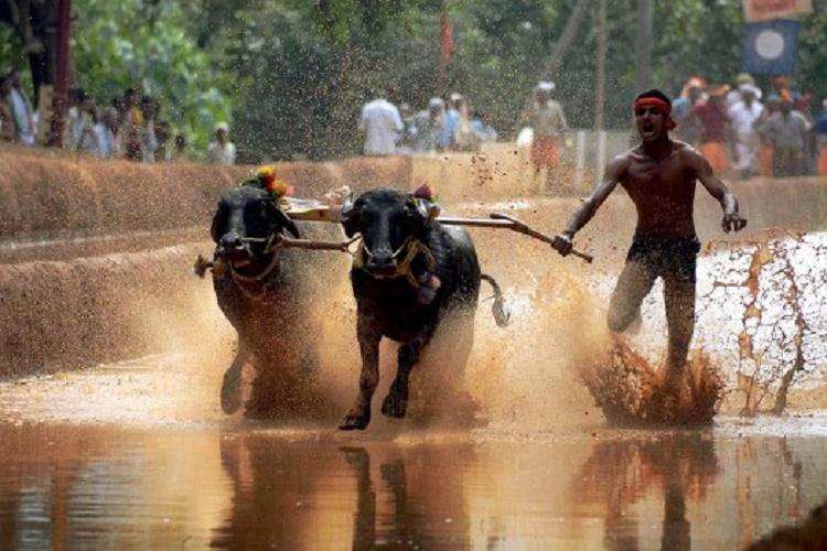 Karnataka Assembly legalises buffalo-racing sport, passes Kambalabill
