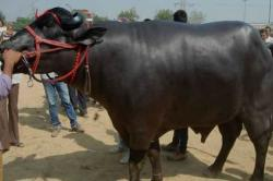 Meet Yuvraj, the buffalo worth a whooping Rs 925 crore and no we did not get the number of zeroes wrong