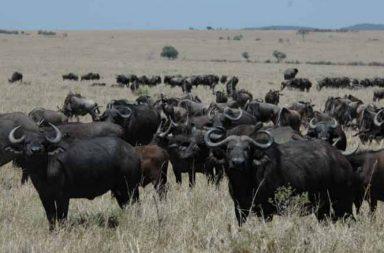 Buffaloes Mumbai