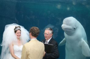 beluga-whale-wedding-photoshop