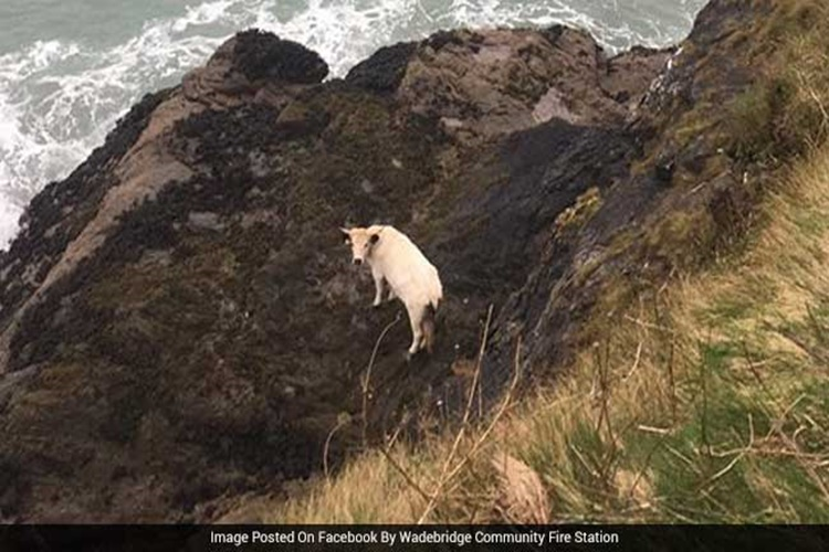 Miraculous escape: Pregnant cow falls off 40-feet cliff, saved after 2-day rescue operation