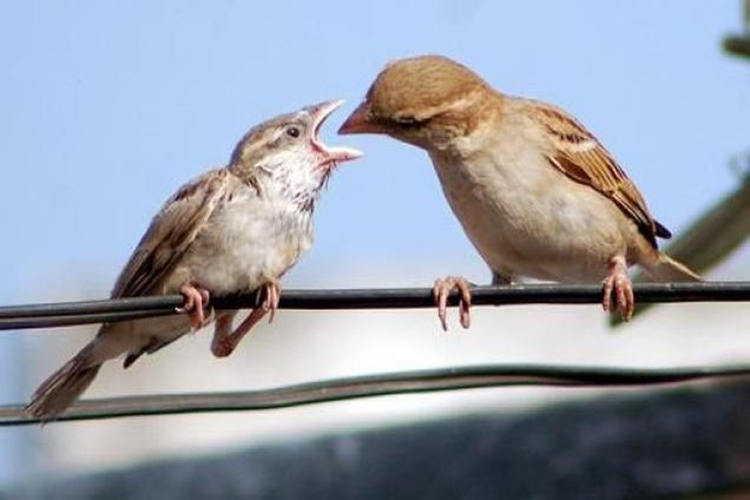 How urban high rises are ensuring sparrows go extinct