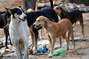 Odisha Stray Dog