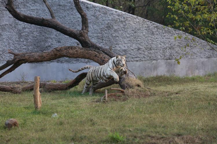 File photo of a white tiger