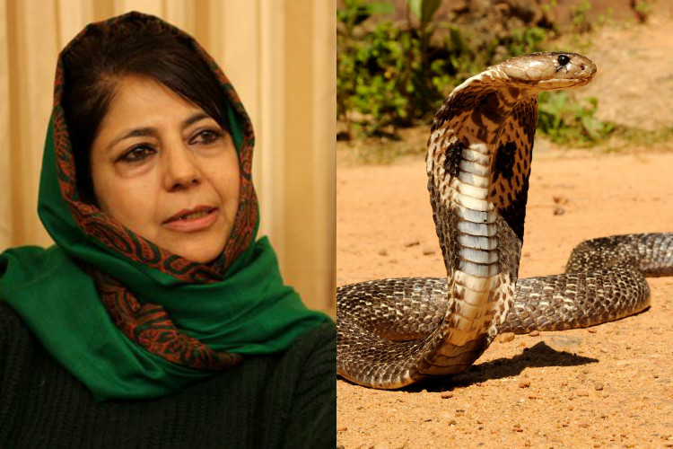 Deadly cobra caught at J&K CM Mehbooba Mufti's residence, sent to Jammu Zoo
