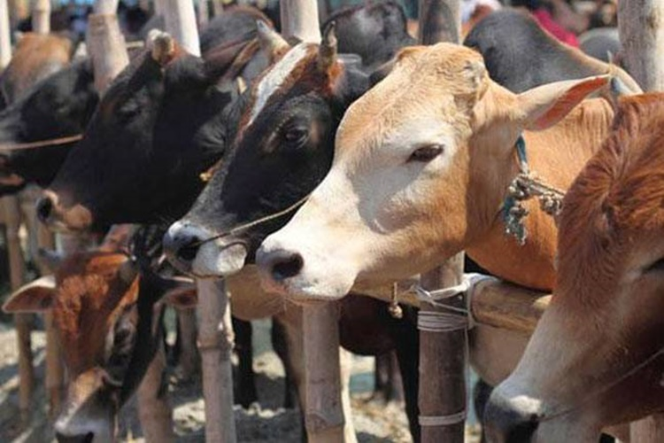 'Project Cow' and cow sanctuaries in all statessoon?