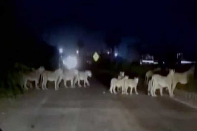 Lions halt traffic on busy Gujarat highway