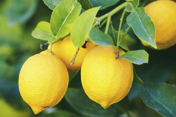 Sacred Lemon Auctioned At A Whopping Rs 27000 At Tamil