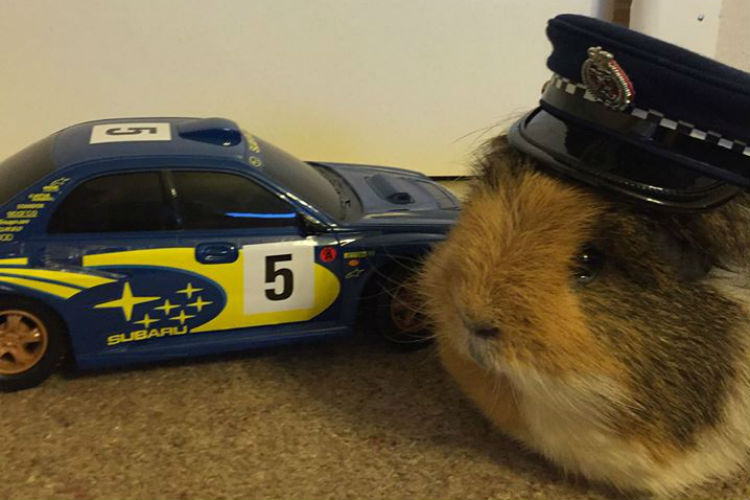Guinea Pig New Zealand Police