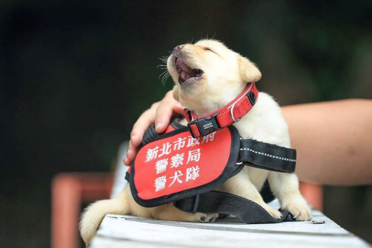 Puppy Police, Police Dogs, Dogs, Xinbei