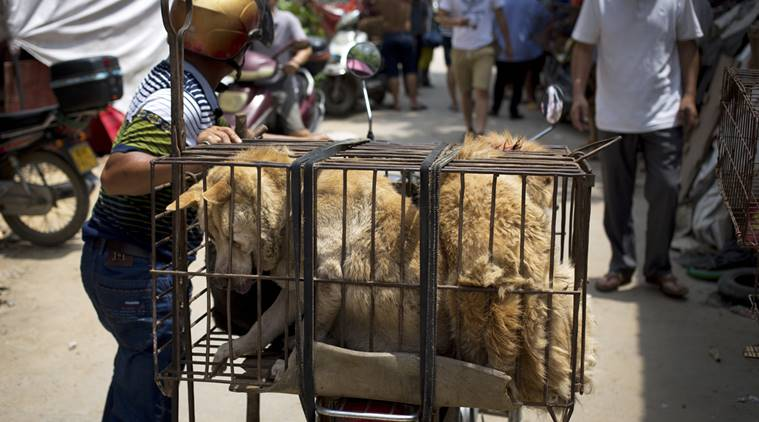 A vendor pushes his motorbike loaded with caged dogs to a market for sale ahead of a dog meat festival in Yulin in south China's Guangxi Zhuang Autonomous Region, Monday, June 20, 2016. Restaurateurs in a southern Chinese town will holding an annual dog meat festival which falls on June 21, the day of summer solstice, despite the international criticism. (AP Photo/Andy Wong)