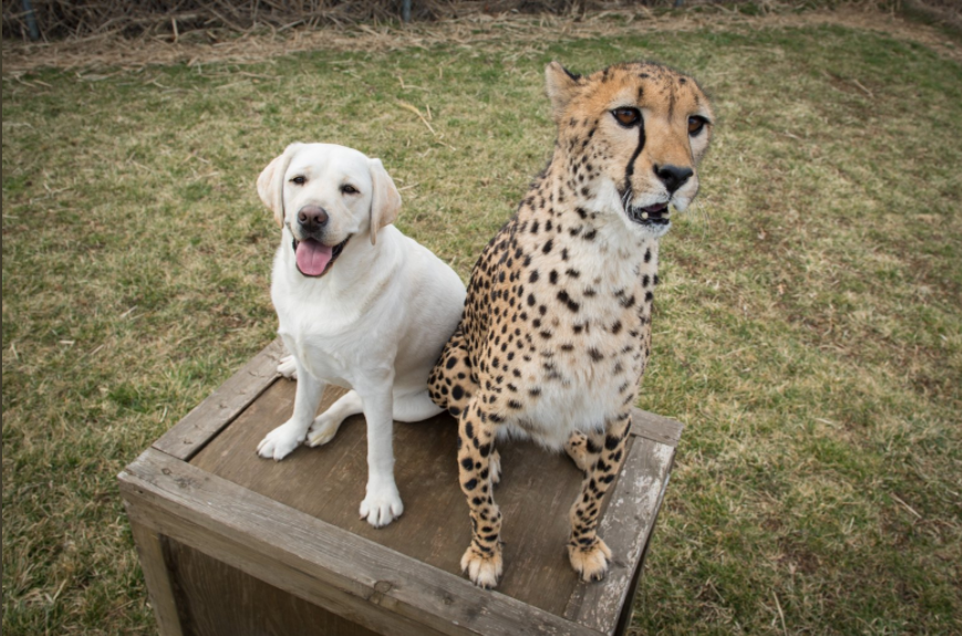 Dogs helping Cheetah