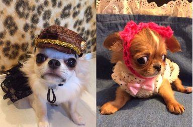 Dog Fashion (Photo: Instagram/@coco_pucchin_k)