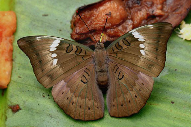 Male Baron Butterfly