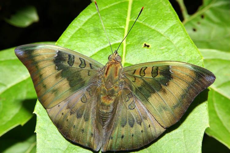 Baron caterpillar