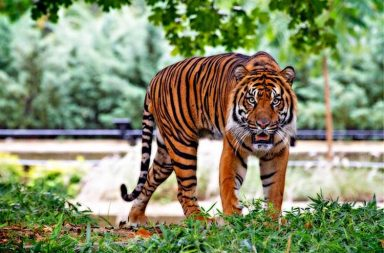 Tigers, Tiger reserve, Pilibhit Tiger reserve