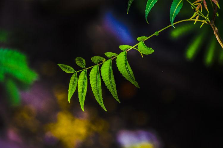 Neem leaves