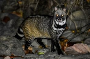 Civet, civet killing , civet hunting, West Bengal civet hunting, students arrested civet