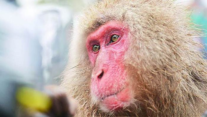 This heartbreaking story of a monkey sacrificing its life to save pigeons is the only thing that makes sense this week
