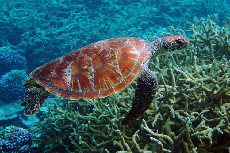 Here's how climate change is affecting Green Sea Turtles in Great Barrier Reef