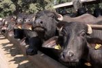 Congress Leaders In MP Play Flute Before Buffalo During Protest, Animal Chases ThemAway