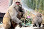 Rise of the city of apes? Delhi HC raises war cry against monkeymenace
