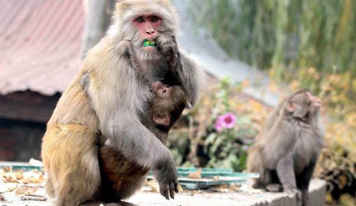 Rise of the city of apes? Delhi HC raises war cry against monkey menace