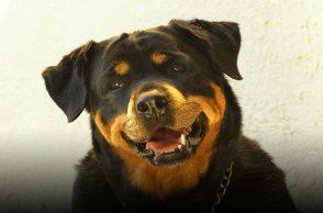Rottweiler puppy, dog