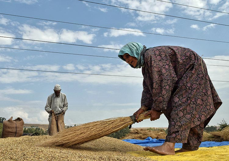 A woman cleaning her harvested paddy in Kashmir