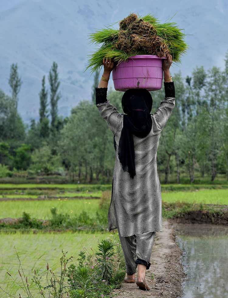 A woman working in the paddy fields in Srinagar, Kashmir
