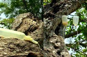 Banyan Tree, Drip, Telangana