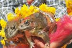 Ensuring Better Monsoons? BJP Minister Marries Off Two Frogs To 'Please Rain Gods' In MP