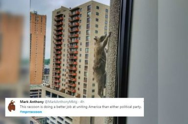 raccoon twitter copy