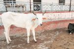 #GauMataToRashtraMata: Uttarakhand Wants Cow To Be Declared 'National Mother'