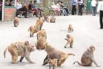 UP Man 'Stoned To Death', Family Seeks FIR Against Accused…A Group Of Monkeys