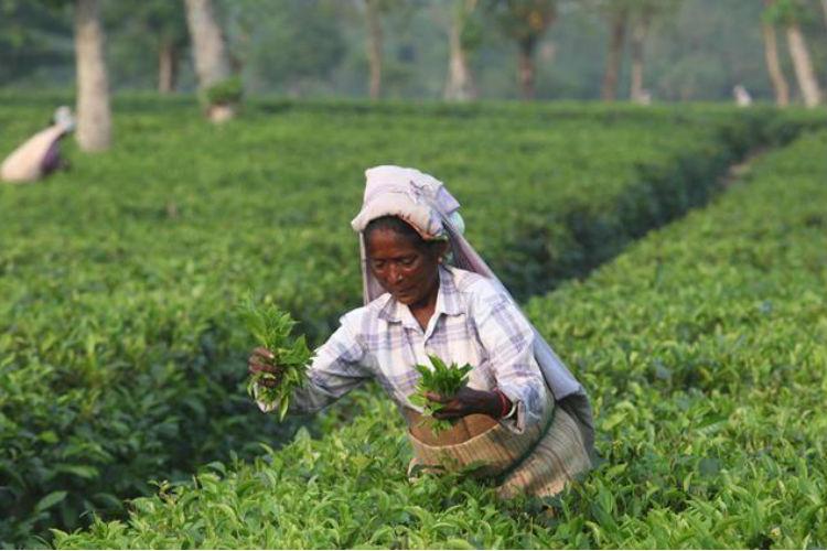 tea cultivation assam